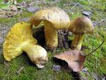 Tricholoma equestre - Grünling.Galt lange Zeit als Speisepilz.Dies wurde jetzt widerrufen.Mancherorts häufig,im Greizer Wald vereinzelt.