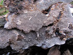Datronia mollis (Bild 2/2) - Großporige Datronie