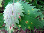 Puccinia urticata s.l. - Rostpilz auf Urtica (Brennnessel).Je nach Wirtspartner werden zahlreiche Kleinarten unterschieden,die auf Urtica nicht unterscheidbar sind.