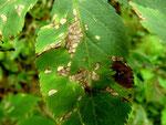 Cercospora depazeoides auf Blättern von Sambucus nigra (Schwarzer Holunder)
