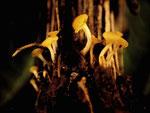 Hymenoscyphus menthae (Bild 1/2) - Ascomycet auf feuchten Krautresten und dünnen Laubholzzweigen.Im Foto am Grund einer Sumpfdistel vom Vorjahr.