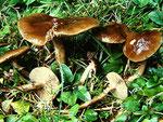Agrocybe erebia - Leberbrauner Ackerling.Gefunden in den Beeten des Stadtparkes Greiz,selten.
