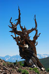 Ancient Bristlecone Pines 2