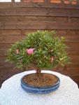 Azalee (Azalea indica / Rhododendron simsii)