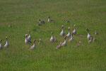Graugänse mit Jungen beim Weiden
