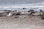 Seehunde mit Silbermöwe am  Strand der Düne