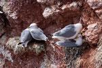 Zwei Dreizehenmöwenpaare in der Steilküste von Helgoland