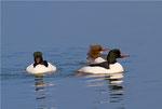 Gänsesäger zwei Männchen mit einem Weibchen, Genfersee 18.2.2011