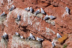 Dreizehenmöwenkolonie auf Helgoland