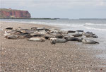 Seehunde am Strand der Düne