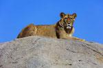 Lioness, Wildlands Emmen