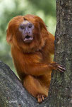 Golden Lion monkey