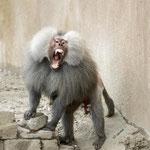 Agressive baboon