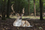 Majestic fallow deer
