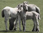 Koniks horses, Oostvaardersplassen