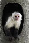 White-headed Capucin monkey - 1