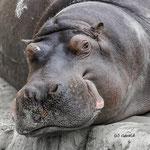 Hippo, chilling