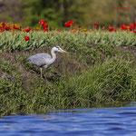 Grey heron in tulip field