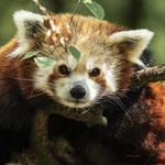 Small panda bear
