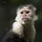 White-headed Capucin monkey - 2