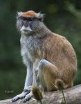 Hussar monkey