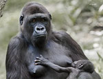 Mother gorilla with baby gorilla