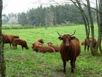 les belles vaches de nos voisins