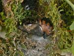 Argynnis aglaja (Grosser Perlmuttfalter) / CH BE Hasliberg 1050 m, 16. 06. 2015