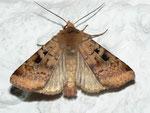 Diarsia mendica (Primel-Erdeule) / CH BE Hasliberg 1050 m, 19. 06. 2012 (am Licht)