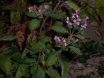 Origanum vulgare (Dost, Majoran) / LAMIACEAE