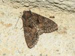 Mniotype satura (Dunkelbraune Waldrandeule) / CH BE Hasliberg 1050 m, 17. 07. 2013