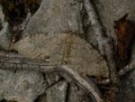 Triphosa sabaudiata (Gelblichgrauer Höhlenspanner) / CH BE Hasliberg 1100 m, 23. 02. 2016