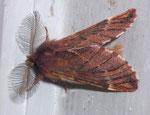 Ptilophora plumigera (Frost-Zahnspinner, Männchen) / CH BE Hasliberg 1050 m, 15. 11. 2009 (Buchen-Mischwaldrand, am Licht)