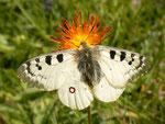 Parnassius phoebus (Hochalpen-Apollo, Männchen) / CH GR Val Müstair 2220 m, 14. 07. 2014