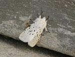 Spilosoma lubricipeda (Weisse Tigermotte, Männchen) / CH BE Hasliberg 1050 m, 24. 04. 2014