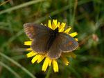 Erebia manto (Gelbgefleckter Mohrenfalter) / CH OW Kerns Ächerlipass Eggi 1540 m, 18. 08. 2014