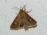Cerapteryx graminis (Dreizack-Graseule, Männchen) / CH BE Hasliberg 1050 m, 22. 08. 2011