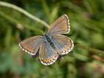 Polyommatus bellargus (Himmelblauer Bläuling, Weibchen) / CH BE Hasliberg 1100 m, 23. 09. 2014