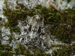 Pachetra sagittigera (Trockenrasen-Blättereule) / CH BE Hasliberg 1200 m, 26. 06. 2019 (Zucht aus gefundener Puppe)