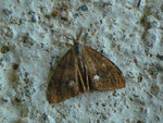 Orgyia antiqua (Schlehen-Bürstenspinner) / CH BE Hasliberg 1060 m,  01. 07. 2018 Männchen