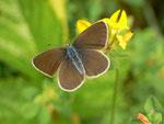 Polyommatus semiargus (Violetter Waldbläuling, Weibchen) / CH BE Hasliberg 1070 m, 03. 06. 2018