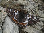Euphydryas cynthia (Veilchen-Scheckenfalter, Männchen) / CH VS Val d'Anniviers, Lac de Moiry, Le Louché 2440 m, 17. 07. 2017