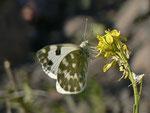 Pontia daplidice (Resedafalter, Weibchen) / España Kan. Inseln, Gran Canaria Barranco de Tasartico 150 m, 07. 01. 2013