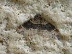 Xanthorhoe ferrugata (Dunkler Rostfarben-Blattspanner) / CH BE Hasliberg 1050 m, 08. 06. 2014