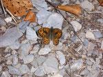 Lasiommata megera (Mauerfuchs, Männchen) / CH BE Hasliberg 1175 m, 06. 10. 2009