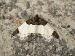 Mesoleuca albicillata (Brombeeer-Blattspanner) / CH BE Hasliberg 1050 m, 09. 06. 2015