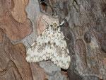 Lymantria monacha (Nonne) / CH BE Hasliberg 1050 m, 09. 08. 2013
