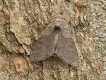Calliteara pudibunda f. comcolor (Buchen-Streckfuss, Rotschwanz, Männchen) / CH BE Hasliberg 1050 m, 25. 04. 2014 (det. Egbert Friedrich Lepiforum 1 am 28. 04. 2014)