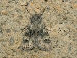 Polymixis xanthomista (Blaugraue Steineule) / CH GR Surselva Sedrun Valtgeva 1548 m, 17. 09. 2012