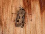 Agrotis exclamationis (Gemeine Graseule) / CH BE Hasliberg 1050 m, 14. 06. 2012